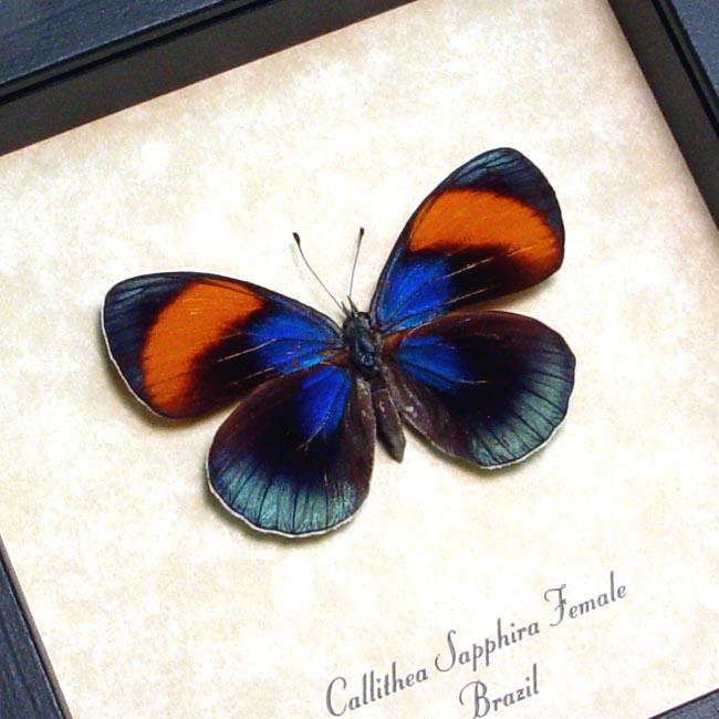 Callithea sapphira Female