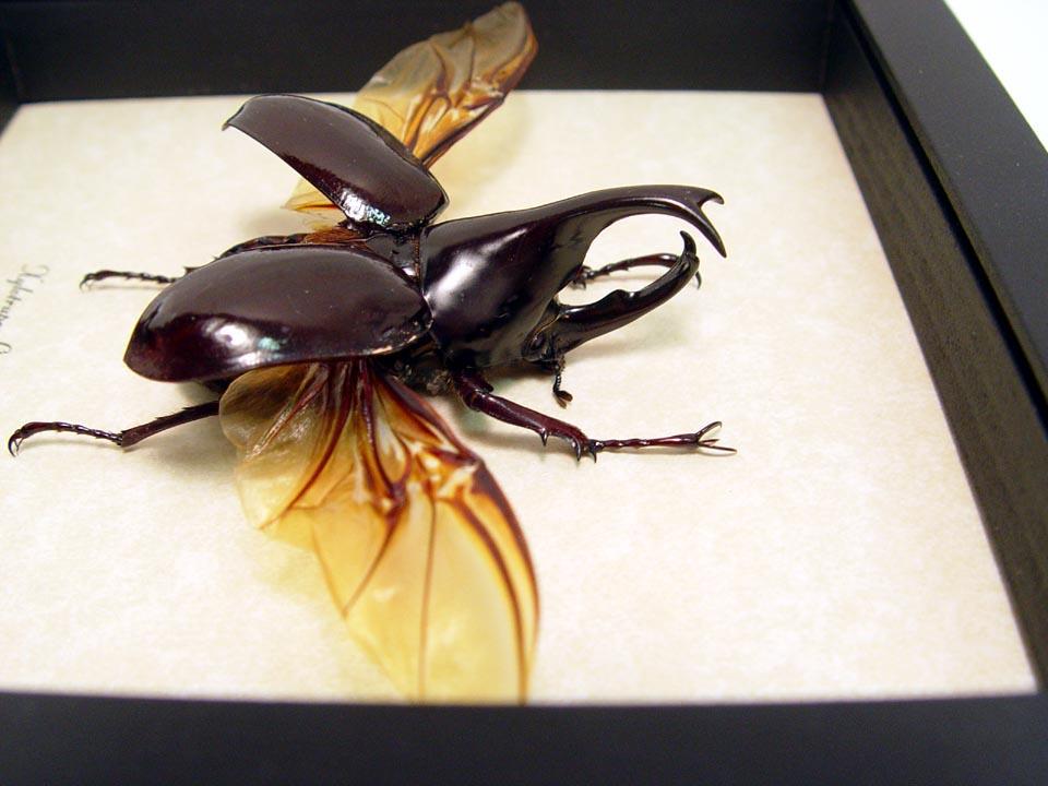Xylotrupes gideon Rhino Beetle