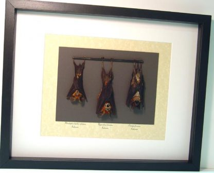 3 Bat set Small Otomops formosus, Javan Mastiff Bat, Horsfield's Leaf-nosed Real Framed