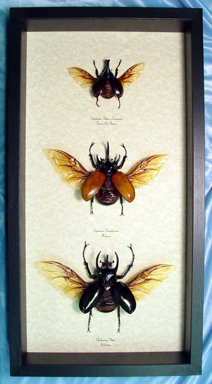 Atlas Beetle Collection Flying Beetles Framed Insect Display