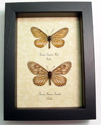 Acraea issoria Pair Butterflies