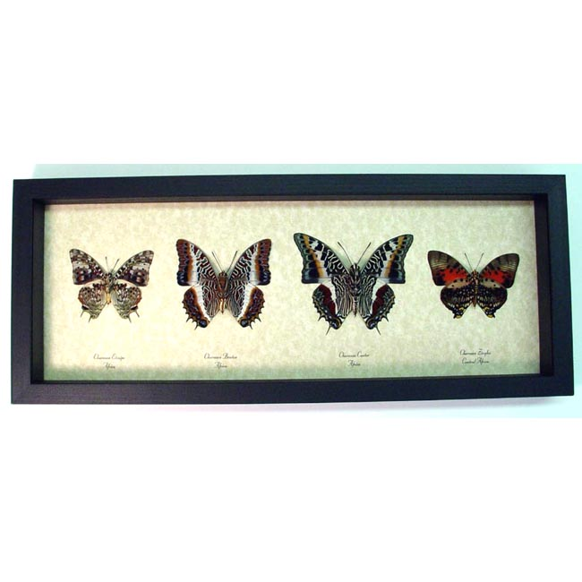 Charaxes African Butterflies Set