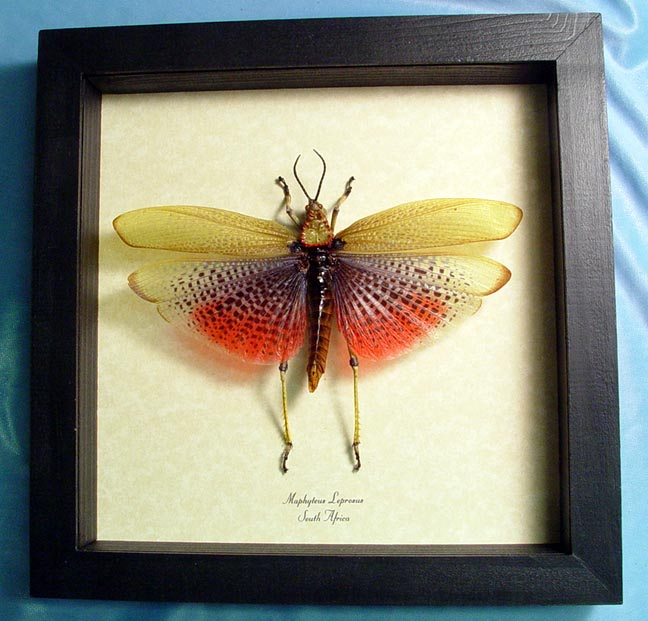 Maphyteus leprosus Rainbow Grasshopper