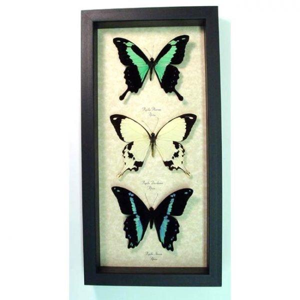 Framed Butterflies African Swallowtail Butterfly Collection