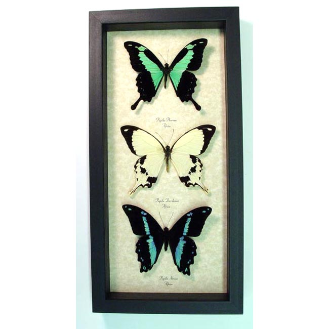 Framed Butterflies African Swallowtail Butterfly Collection