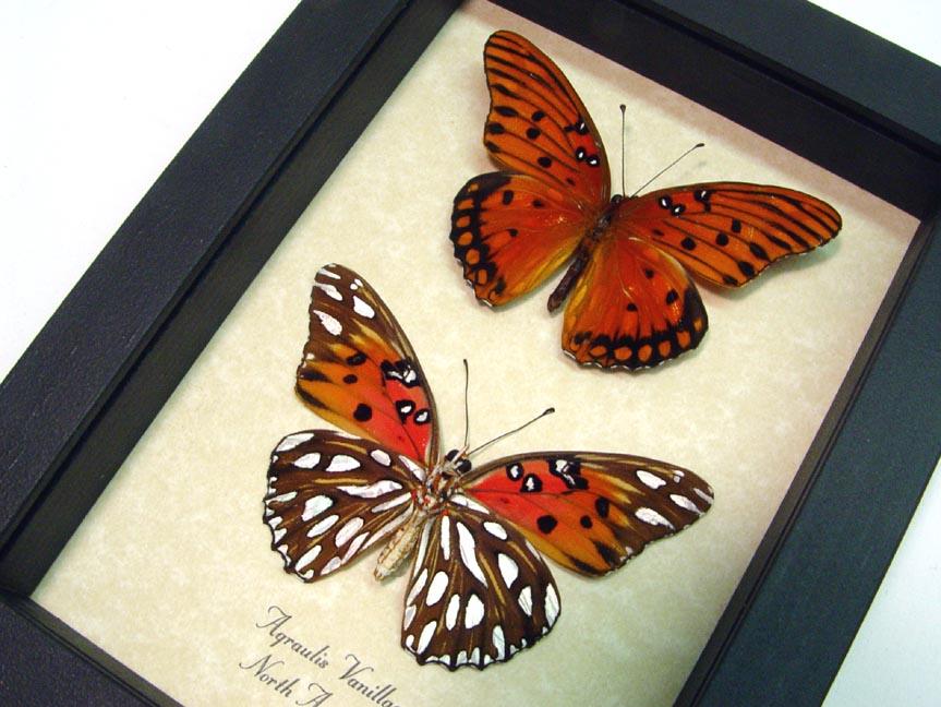 Agraulis vanillae Pair Gulf Fritillary Passion Butterflies