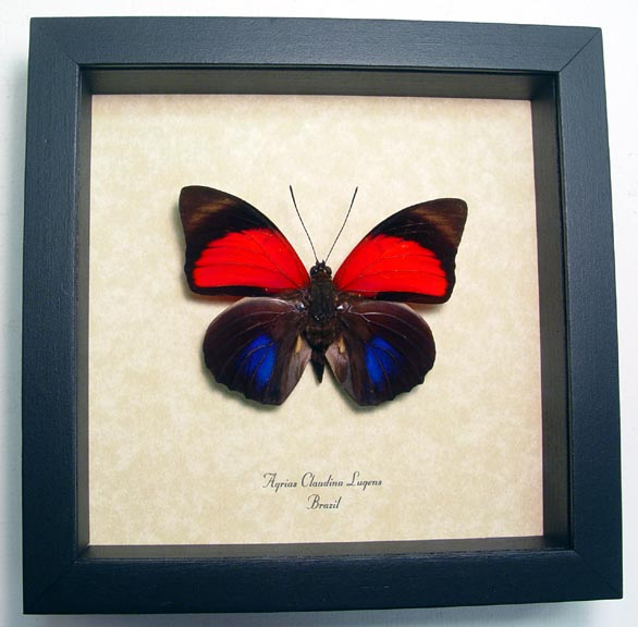 Agrias Claudina Lugens Real framed Butterfly