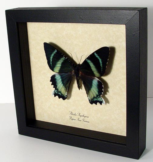 Alcidis agathyrus Zodiac Moth