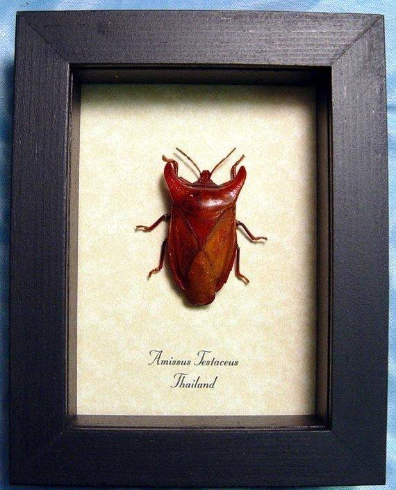 Amissus testaceus Beetle