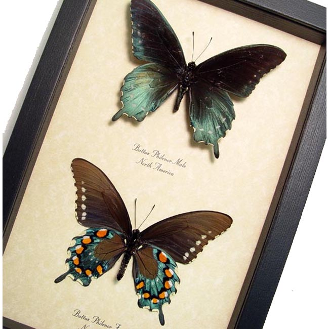 Battus Philenor Pair Pipevine Swallowtail