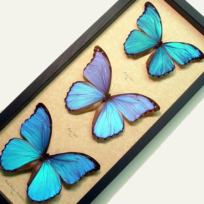 Blue Morpho Butterfly Collection Framed Butterflies