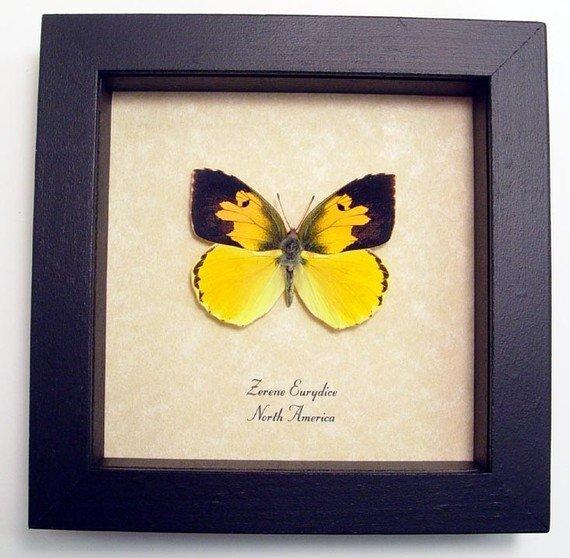 Zerene Eurydice California Dogface Butterfly