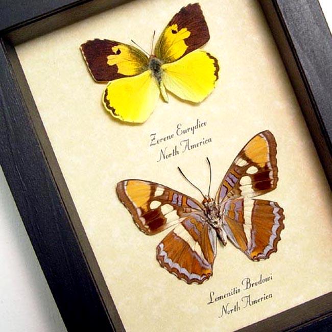 California Set Butterflies Sister Dogface