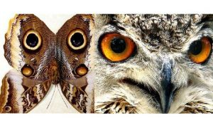 Caligo-atreus-ajax-owl-mimic-butterfly-Owl-