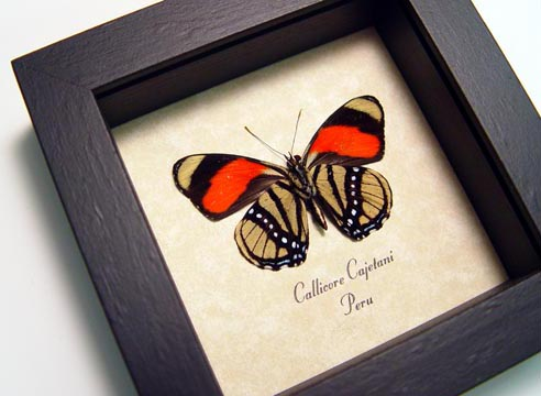Callicore cajetani Verso Framed Butterfly