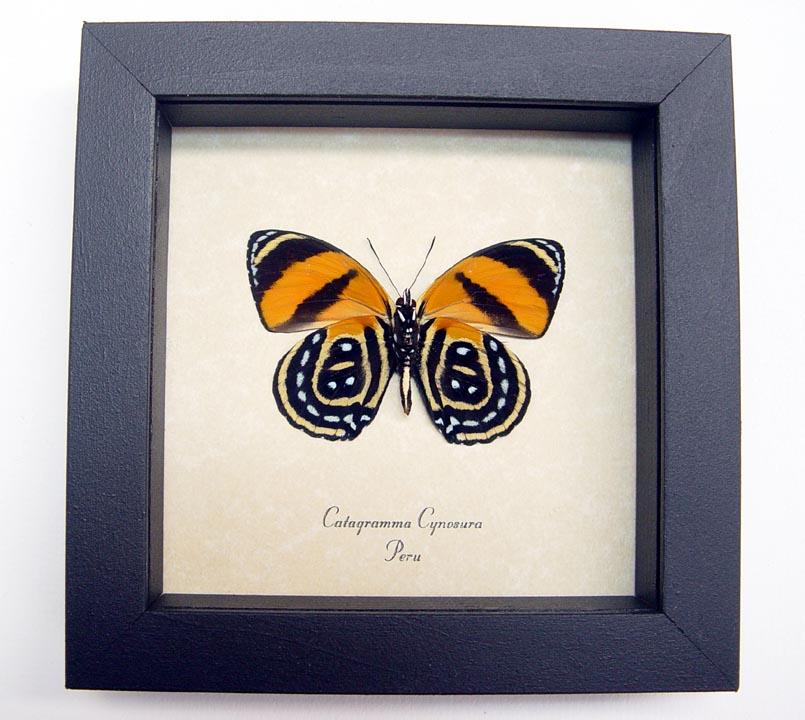 Catagramma cynosura Verso Butterfly