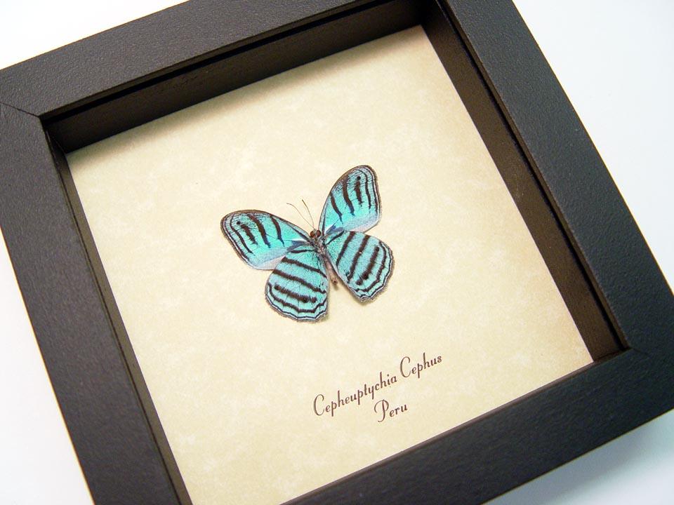 Cepheuptychia cephus Verso Sky Blue Butterfly