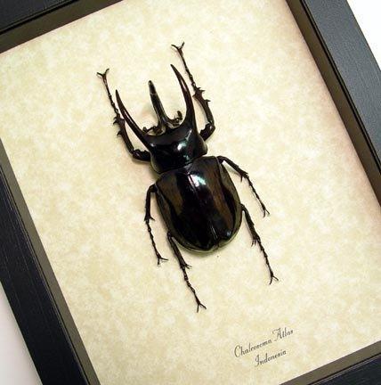 Chalcosoma atlas Rhino Beetle