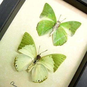 Charaxes eupale Pair Green African Butterflies