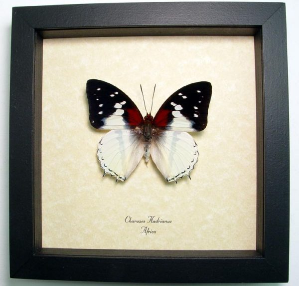 Charaxes hadrianus White Charaxes African Butterfly