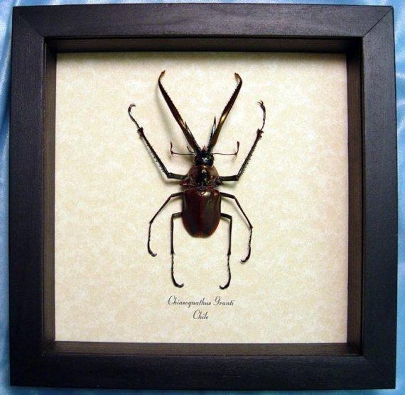 Chiasognathus granti Charles Darwin Beetle