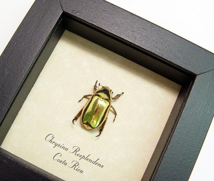 Gold Scarab Jewel Beetle Framed Chrysina resplendens