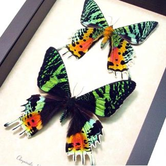 Butterfly & Moth Sets