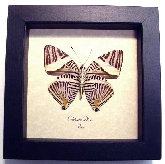 Colobura dirce Kaleidoscope Butterfly