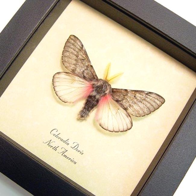Coloradia doris Pink Teddy Bear Moth