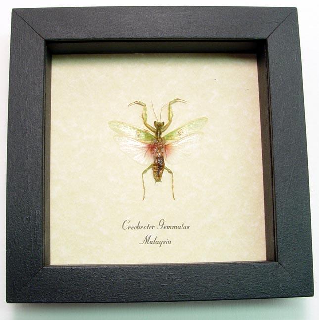 Creobroter gemmatus Male