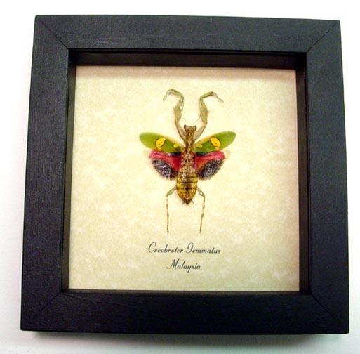 Creobroter gemmatus Red