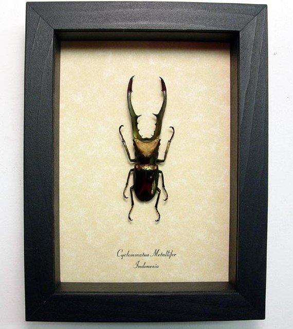 Cyclommatus metallifer 62+mm Framed Stag Beetle