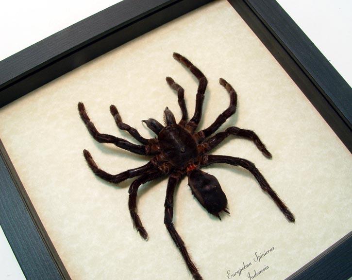 Eurypelma spinicrus lg Framed Tarantula Spider