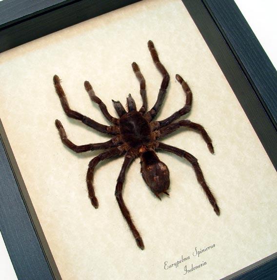 Euryplema spinicrus small Tarantula Spider