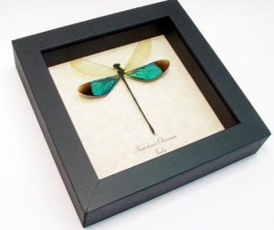 Emerald-Green-Damselfly-Framed Real Insect Best Seller by Butterfly-Designs