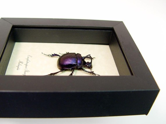 Enoplotrupes sharpi Purple Scarab Beetle