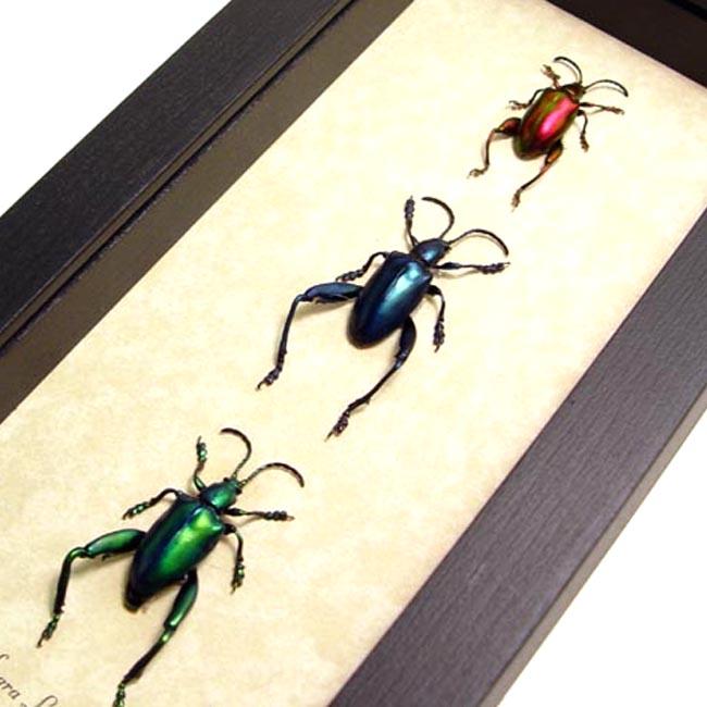 Sagra longicollis Set Frog Beetles