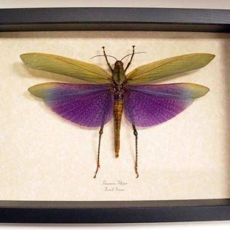 Grasshoppers & Katydids