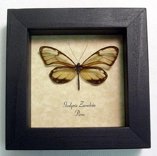 Godyris zavaleta Glasswing Butterfly