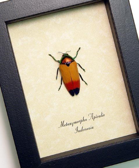 Metaxymorpha apicalis Glowing Jewel Beetle