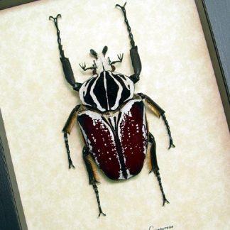 Goliatus Beetles