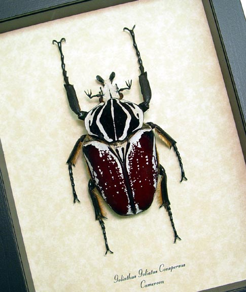 Goliathus Beetles