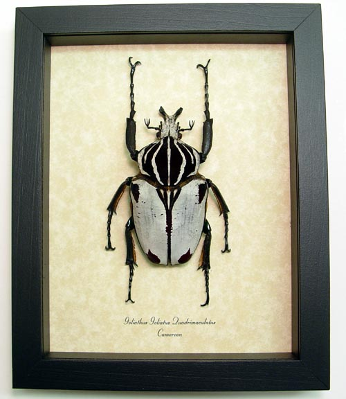 Goliathus g. quadrimaculatus - Butterfly Designs - Real Framed ...