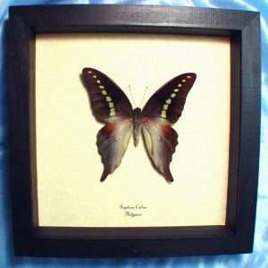 Graphium codrus Green Banded Swallowtail Framed Butterfly