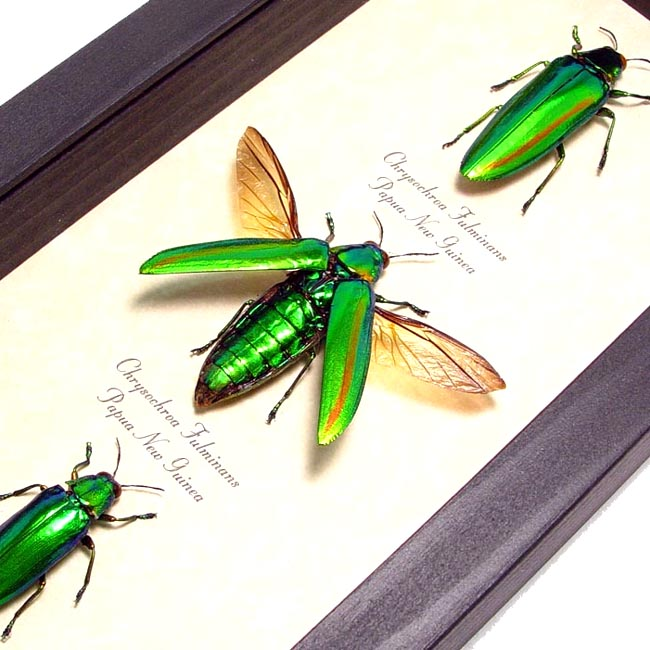 Framed Green Beetle Set
