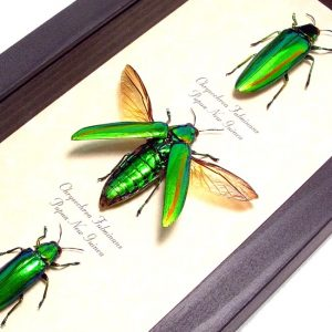 Beetles Scarabs True Bugs Framed