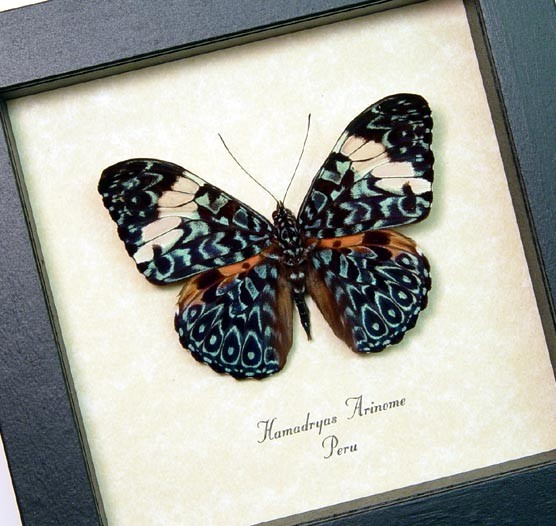 Hamadryas aeinome Blue Paisley Cracker Butterfly