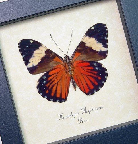 Hamadryas amphinome Verso RedCracker Butterfly