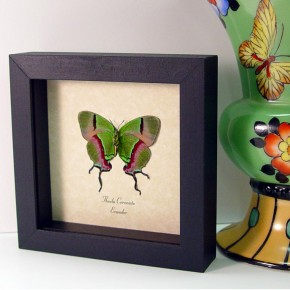Thecla coronata Hewitson's Hairstreak real framed butterflies by butterfly-designs framed butterfly art for sale