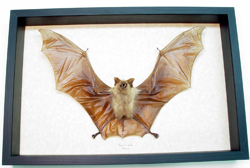 Flying Bat Hipposideros diadema